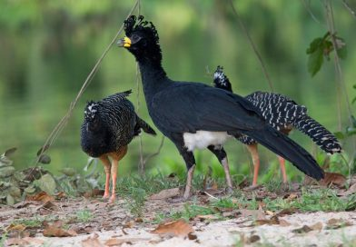 Duas aves ameaçadas de extinção são vistas em área de represa em Fronteira
